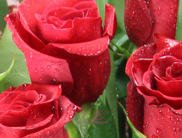 异国之恋—快送鲜花网 情人节鲜花速递 在线订花 同城快递鲜花 特价鲜花订购 邮政