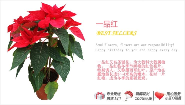 一品红—快送鲜花网|绿植花卉|办公室绿植|市内绿植|上海绿植|重庆绿植|异地送鲜花
